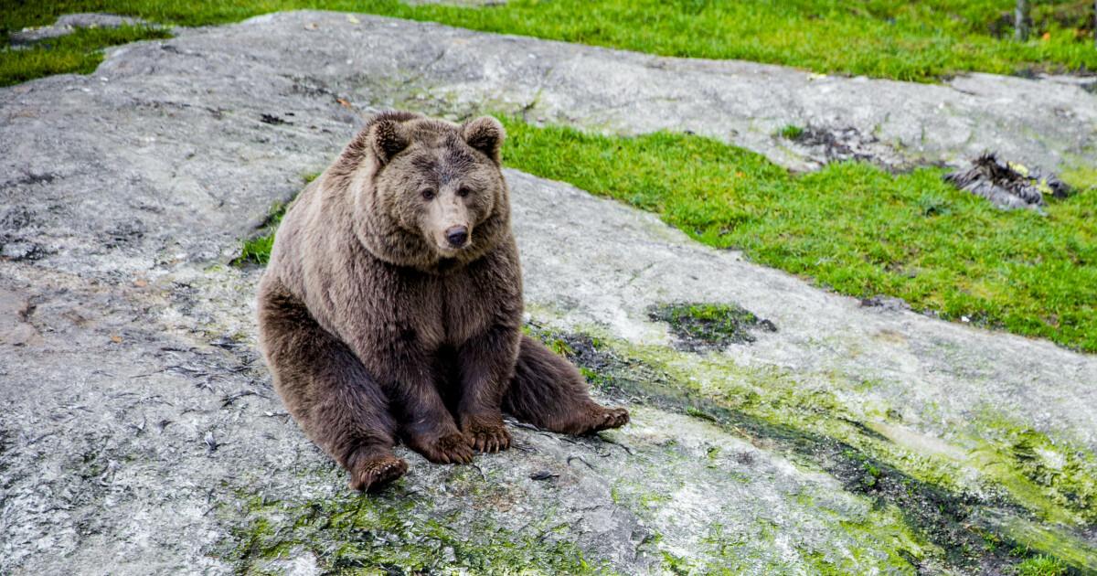 Flere binner og bjørnunger enn på ti år