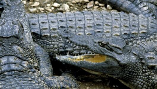 Jente (11) angrep krokodille