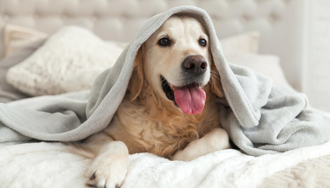 SØVN: En undersøkelse viser at kvinner opplever at de sover bedre om natten dersom de deler seng med en hund. En partner eller en katt gir ikke samme effekt. FOTO: NTB Scanpix
