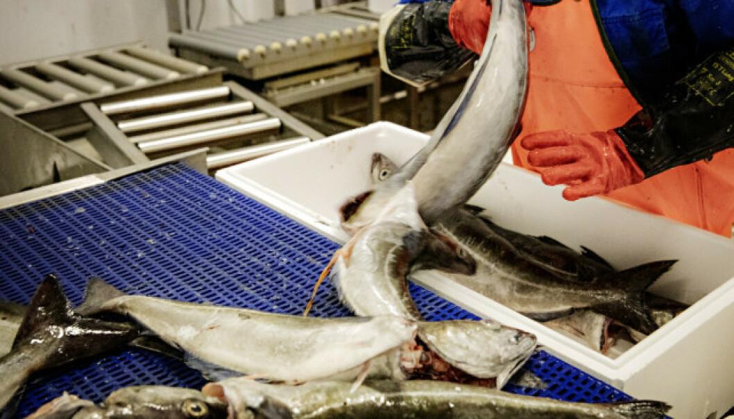<strong>FISKEARBEID:</strong> Ifølge Arbeidstilsynet fikk flere av de ansatte ikke overtidsbetalt. Foto: Nina Hansen/Dagbladet