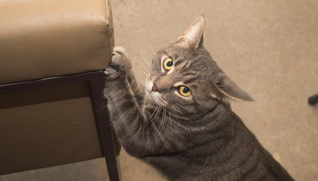 <strong>KLORER PÅ MØBLER:</strong> Når katten har begynt å klore på møblene i huset, kan det bety flere ting. I artikkelen under får du vite hvordan du kan løse problemet. Foto: NTB Scanpix.