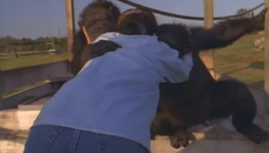 GJENSYN: Linda får en varm klem av Swing, sjimpansen hun reddet i 1974. FOTO: Skjermdump fra dokumentaren Wisdom of the wild/Argo films