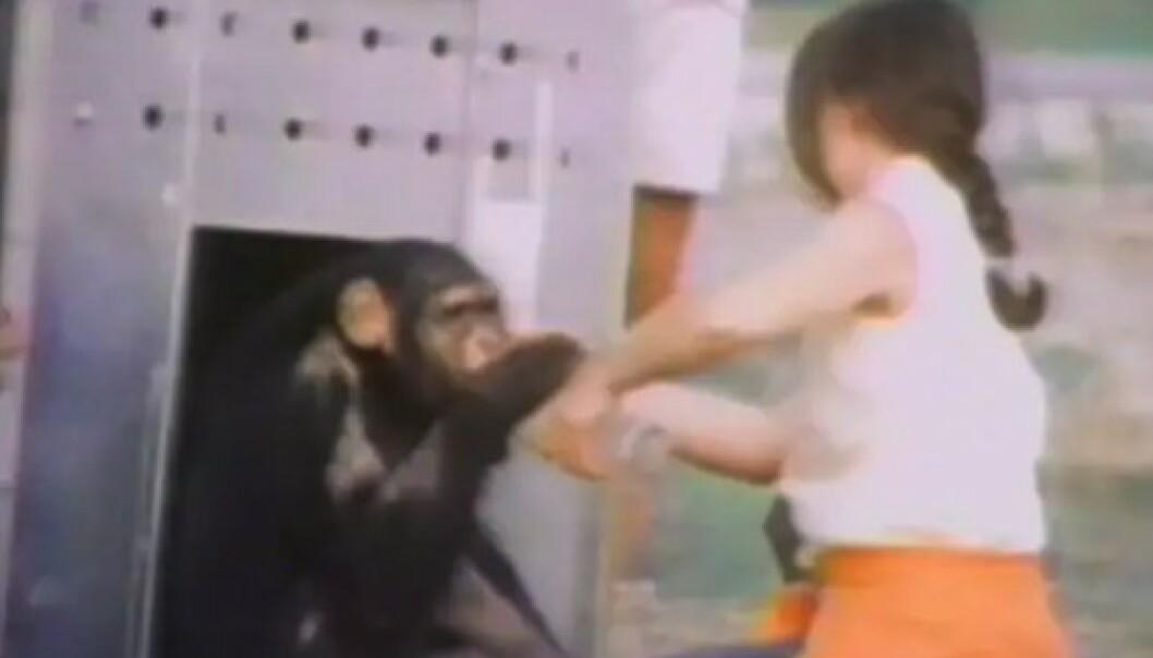 NØLENDE: En av sjimpansene lar seg lokke ut i dagslyset. Sol, gress, vind. Hva er alt dette fremmede? FOTO: Skjermdump fra dokumentaren Wisdom of the wild/Argo films