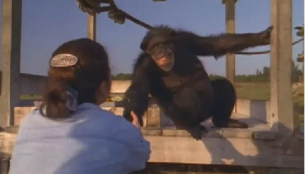 ER DET DEG? Linda Koebner møtte igjen Swing, 25 år etter at hun reddet sjimpansen til et liv utenfor forsøkslaboratoriet. FOTO: Skjermdump fra dokumentaren Wisdom of the wild/Argo films