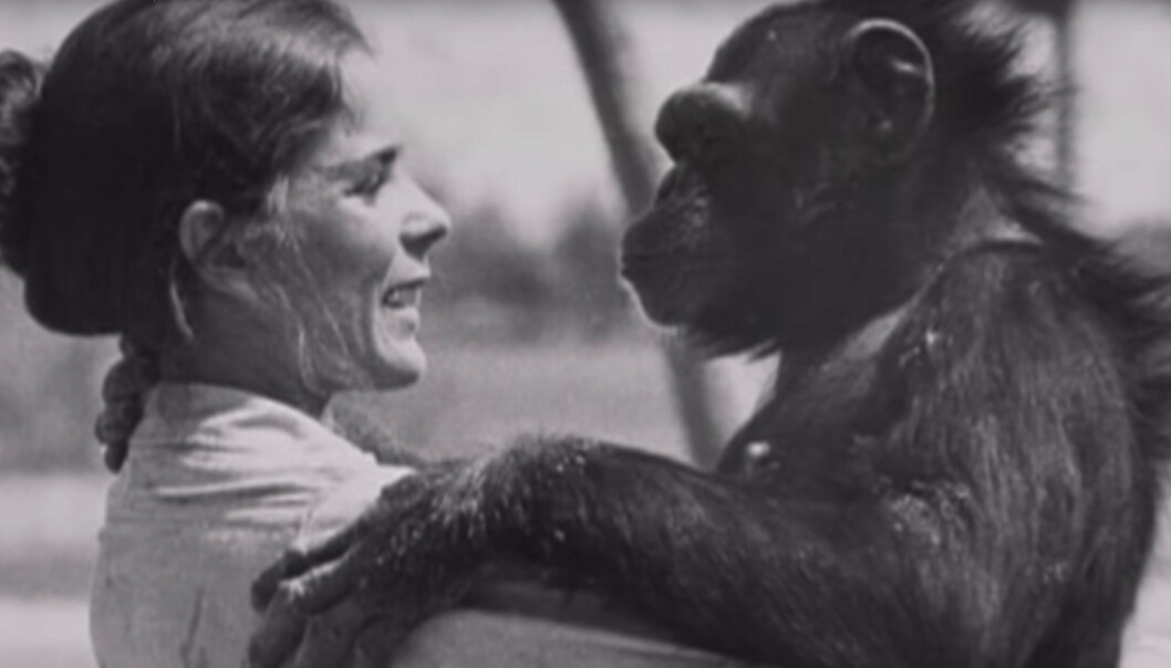 <strong>GAMLE VENNER:</strong> Linda Koebner møtte igjen Swing, 25 år etter at hun reddet henne til et liv utenfor buret i forsøkslaboratoriet. FOTO: Skjermdump fra dokumentaren Wisdom of the wild/Argo films.