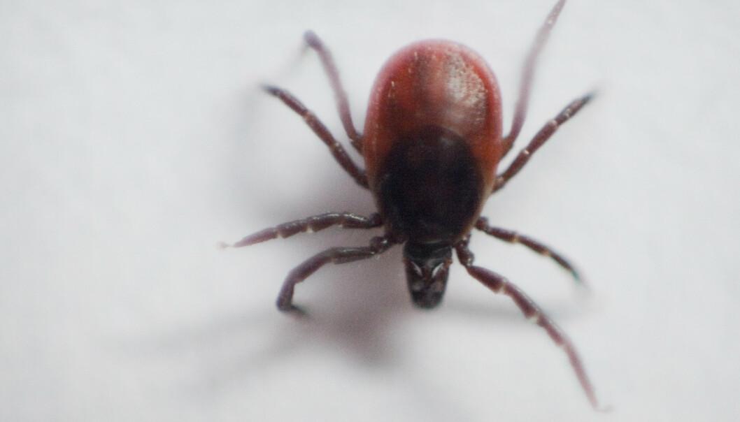 Hittil i år er det registrert flere alvorlige tilfeller av den flåttbårne sykdommen Lyme borreliose og av virussykdommen skogflåttencefalitt – TBE enn i hele fjor. Illustrasjonsfoto: Kyrre Lien / NTB scanpix