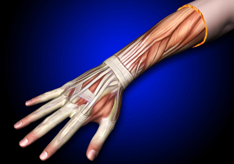 HÅNDLEDD: Anatomisk bilde av muskler og sener i arm og håndledd. Foto: Shutterstock / NTB scanpix