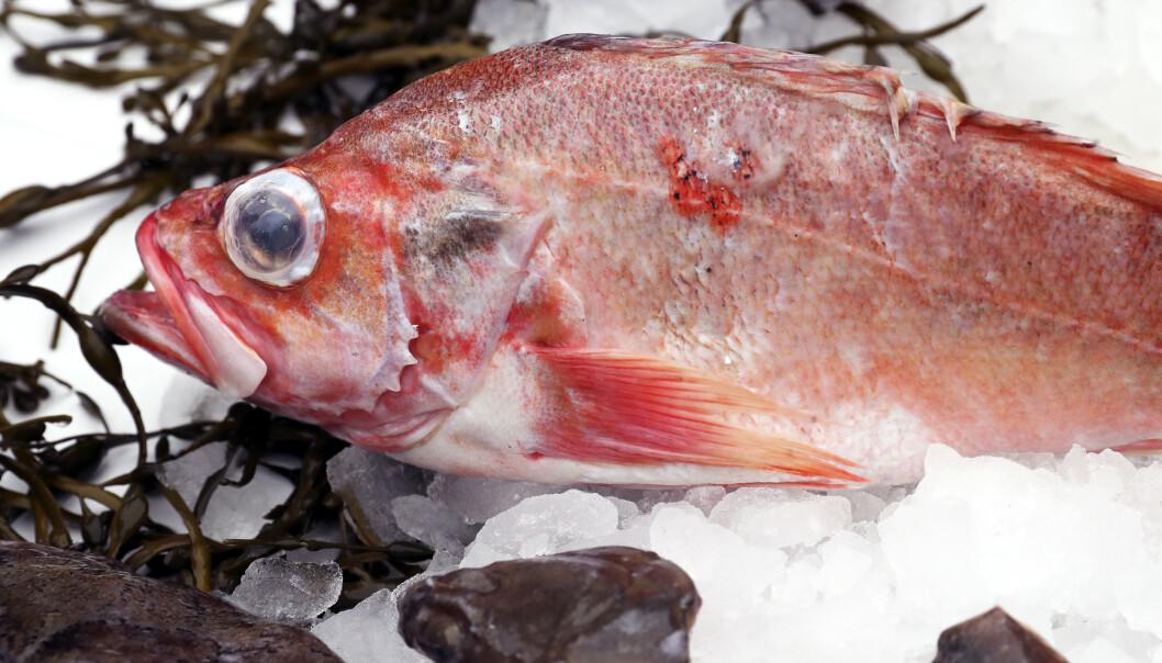 Et utvalg har konkludert med at det er for lett å drive ulovlig fiske i Norge. Nå foreslås det å opprette et fiskeripoliti. Foto: Vidar Ruud / NTB scanpix