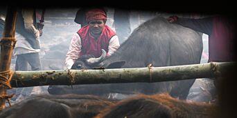 image: Masseslakt-festival: Ofrer tusenvis av dyr