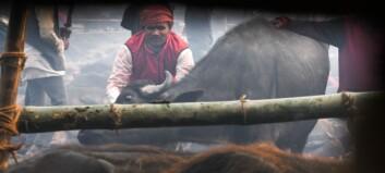 Masseslakt-festival: Ofrer tusenvis av dyr