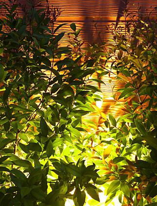 SKYGGEVIRKNING: Haave foreslår å lyse opp trær og busker. Foto: NTB Scanpix.