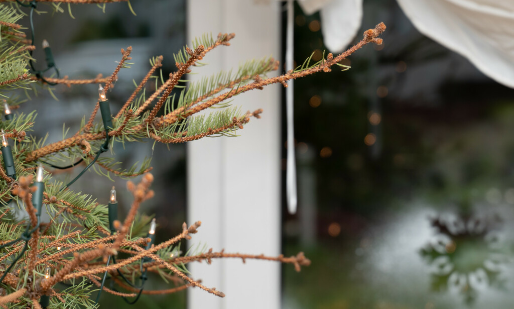 DETTE KAN DU UNNGÅ: Hold juletreet grønt og frodig gjennom hele julen. Ekspertenes beste tips får du i artikkelen under! Foto: NTB Scanpix.