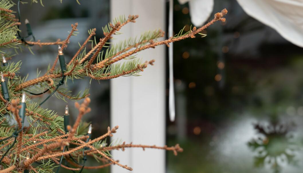 <strong>DETTE KAN DU UNNGÅ:</strong> Hold juletreet grønt og frodig gjennom hele julen. Ekspertenes beste tips får du i artikkelen under! Foto: NTB Scanpix.