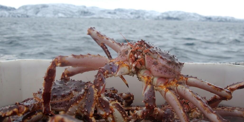 <strong>DØMT:</strong> Troms-mann er dømt for salg av sju tonn kongekrabbe til en verdi av minst 3,5 millioner kroner. Illustrasjonsfoto: Ingun A. Mæhlum/Dagbladet