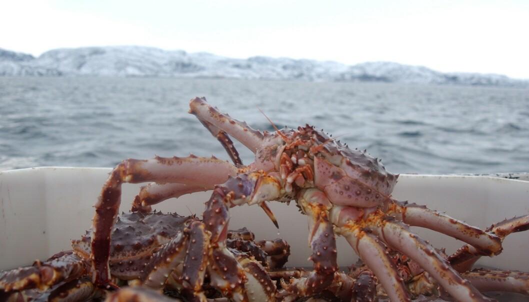 <strong>KONGEKRABBE:</strong> Norges Kystfiskarlag mener kontrollmyndighetene har sviktet i kontrollen med ulovlig fangst av kongekrabbe. Foto: Ingun A. Mæhlum/Dagbladet