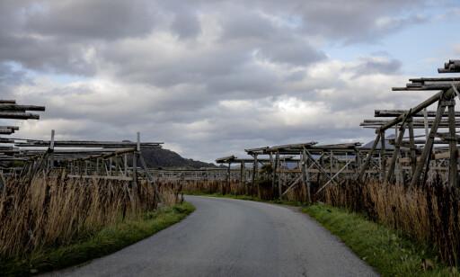 LANDEMERKER: Hjellene med tørrfisk er landemerker for turister i Lofoten og Vesterålen. Her fra Stocco AS, som har fått påpakning fra Arbeidstilsynet. Foto: Nina Hansen / DAGBLADET