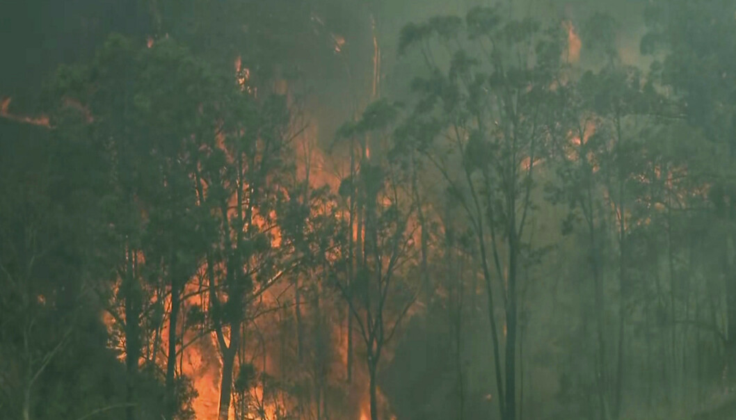 Skogbrannene i Australia den siste tiden har tatt livet av mer enn 2.000 koalaer, tror eksperter. Foto: AP / NTB scanpix