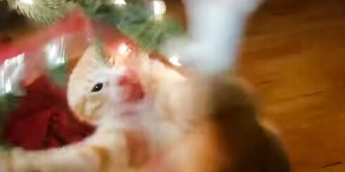 Hysterisk morsom video: Katten går bananas i juletreet!