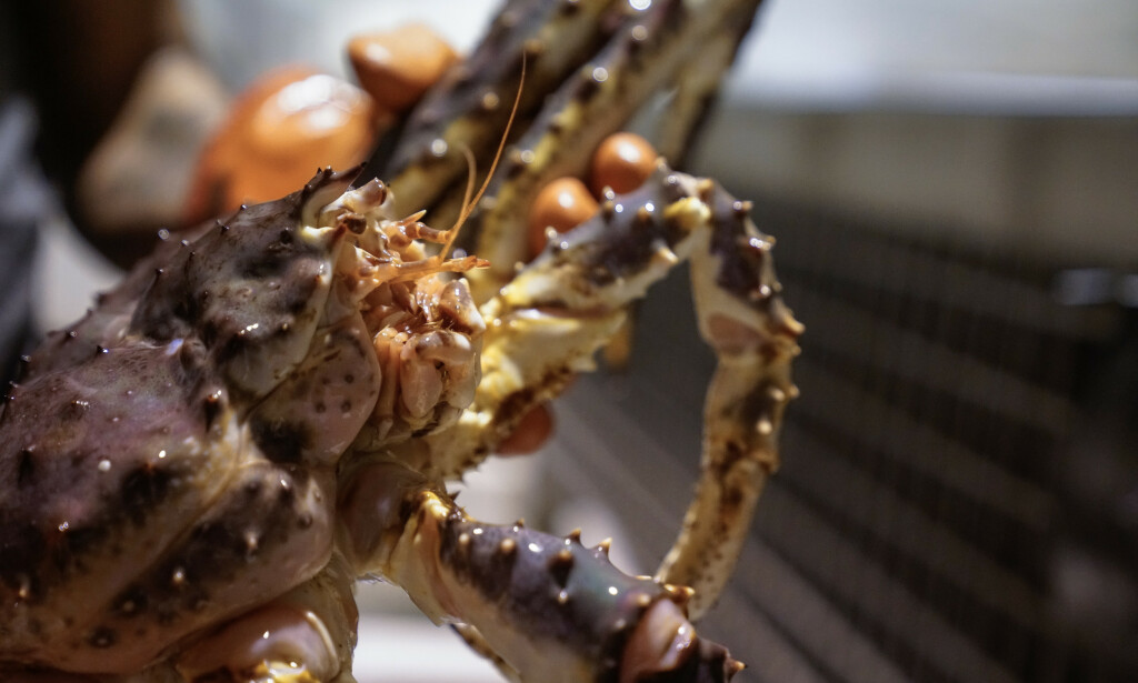 DELIKATESSE: Kongekrabber har blitt ulovlig fisket og fraktet til blant annet Østlandet. Illustrasjonsfoto: Øistein Norum Monsen / Dagbladet