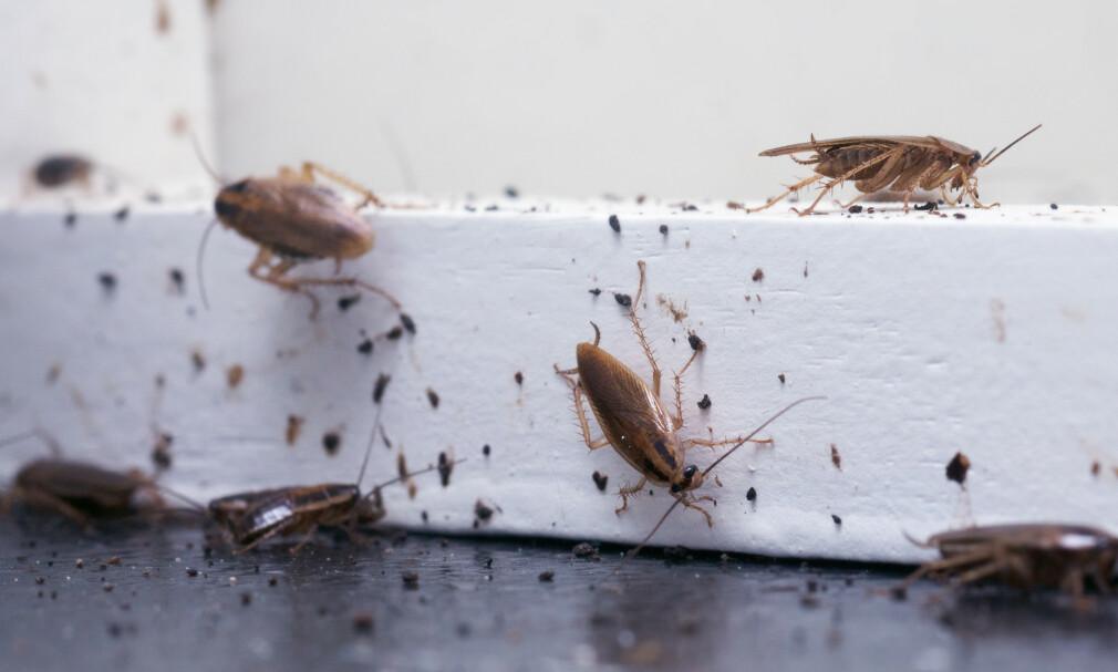 SPRER SEG I NORGE: Det er flere grunner til at det stadig dukker opp flere kakerlakker i Norge. Her er det kakerlakker av sorten Tysk kakerlakk som er avbildet, en av de vanligste sortene som dukker opp her hjemme. Foto: NTB Scanpix.