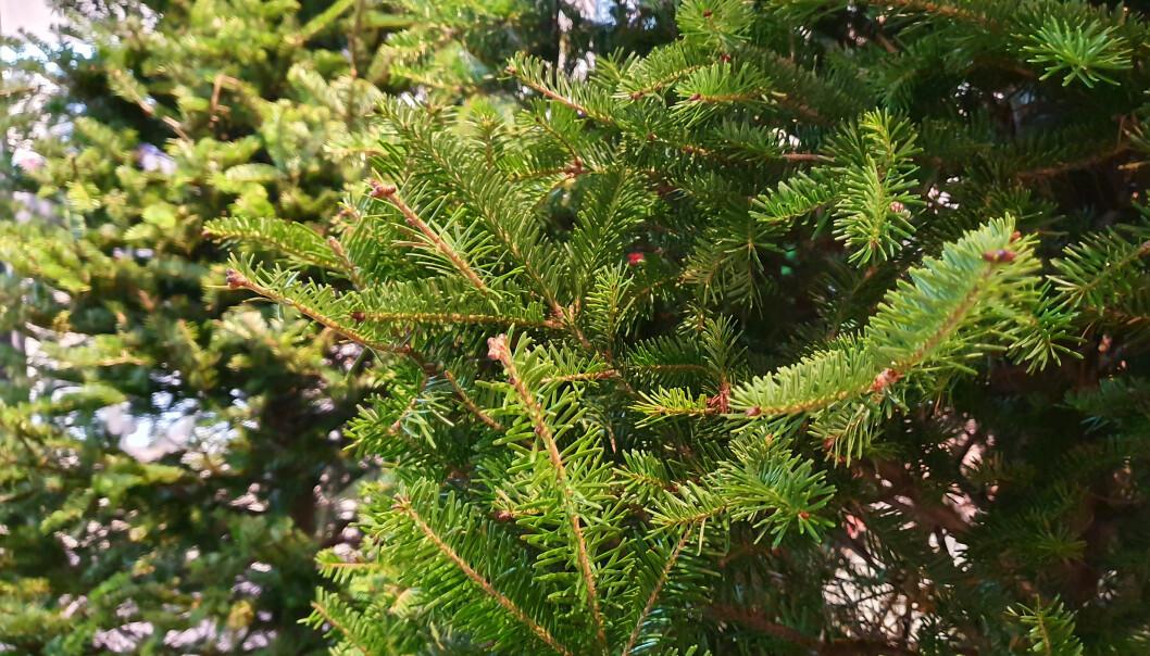 NATURLIG: Naturen er bra for mennesker, også et ekte juletre i stua, mener forsker. FOTO: NTB Scanpix