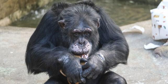 image: Sjimpansen Julius fyller 40 år