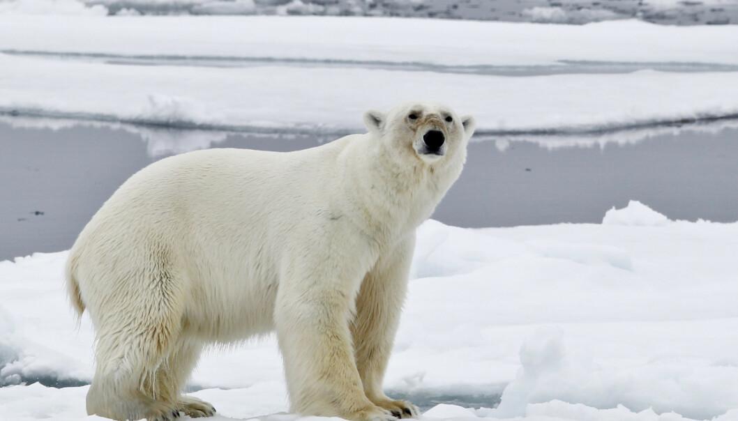 Isbjørn avlivet: - Har vist en helt spesiell atferd de siste dagene