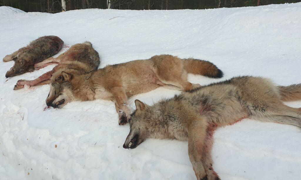 image: Fire av seks ulver skutt ved Elverum