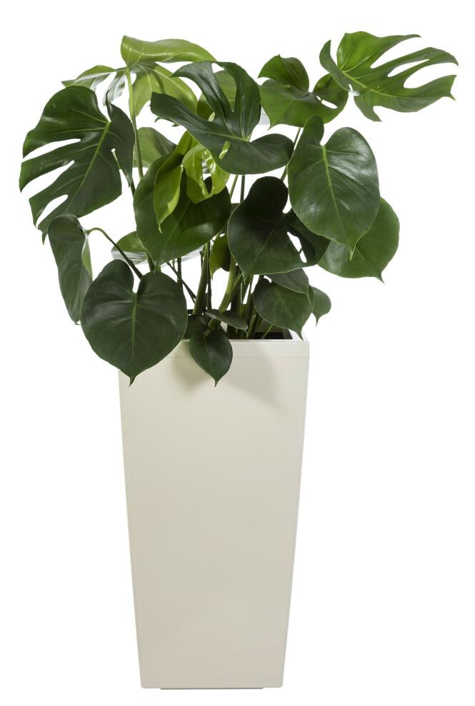 Plante (fra kr 300, Mester Grønn). FOTO: Produsenten