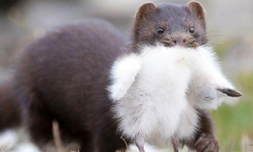 image: Påvist i isbjørn, mink og mark