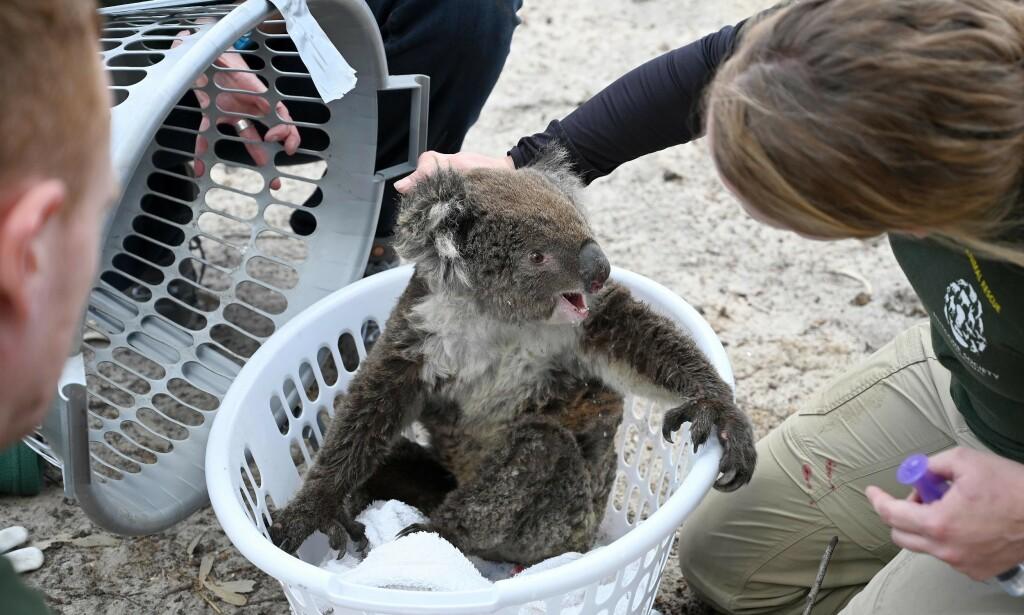 En skadd koalabjørn reddes på Kangaroo Island 15. januar i år. Dyreliv, skoger og mennesker er hardt rammet etter de voldsomme brannene. Nå uteblir også turistene. Foto: PETER PARKS / AFP / NTB Scanpix