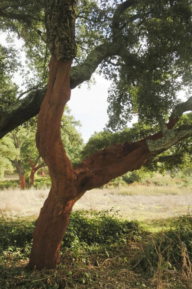 Korktrærne i området strippes for bark i juni og juli. FOTO: Karna Bunk-Jensen