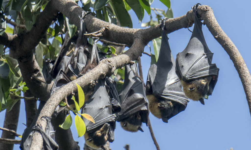 image: Flaggermus antas å ha spredt Wuhan-viruset
