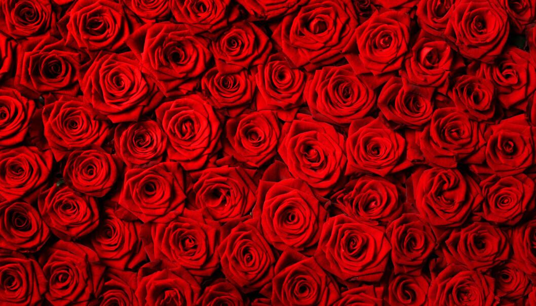 FÅ ROSENE DINE TIL Å HOLDE UT LENGER: Det finnes flere triks som kan hjelpe deg med å få rosene til å holde ut lenger, og de funker selv for seg som ikke har grønne fingre. Foto: NTB Scanpix