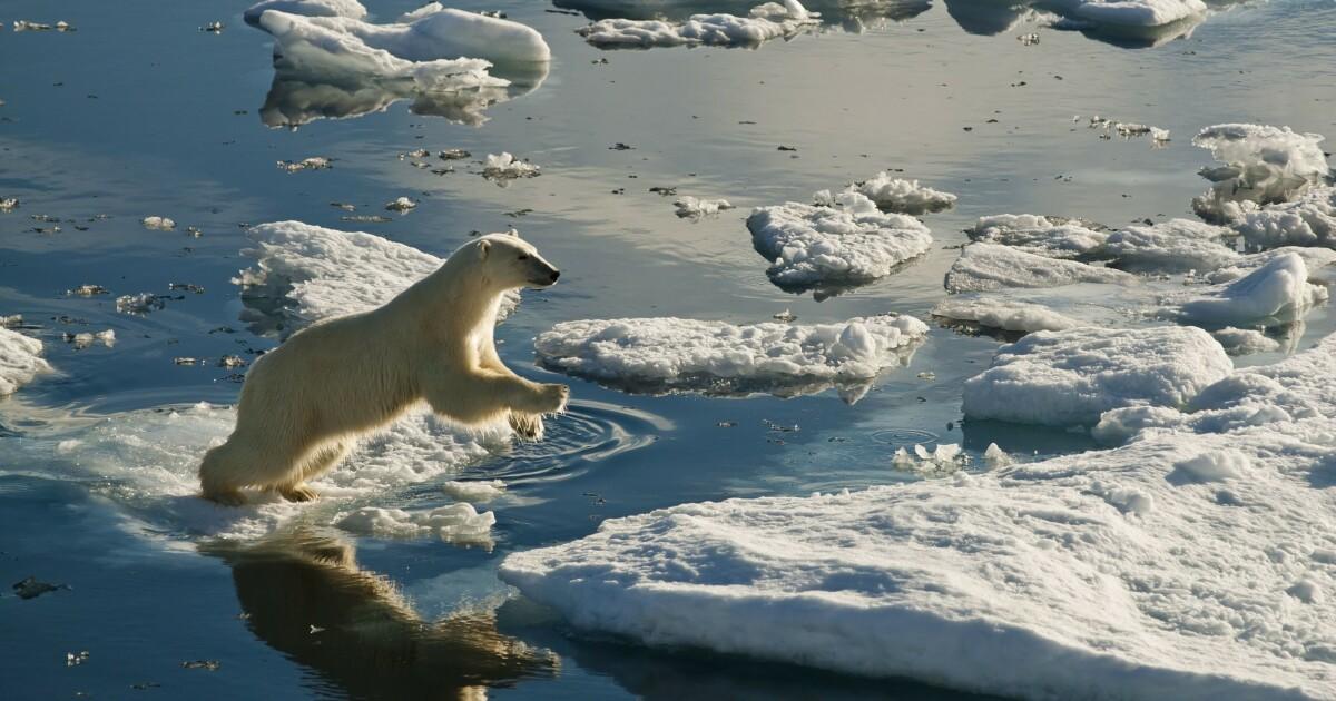 Klimaendringene påvirker isbjørner