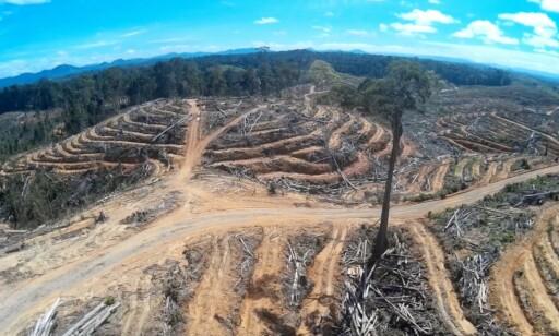 FORSVINNER: Skogen må bøte for produksjonen av palmeolje. Foto: Regnskogfondet