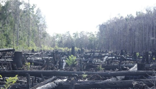 <strong>BRENT SKOG:</strong> Bildet av den nedbrente regnskogen i Indonesia er knyttet til palmeoljevirksomhet. Foto: Regnskogfondet