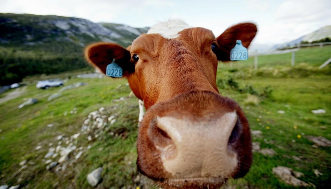 <strong>FRISKE GENER:</strong> Sæden fra norsk rødt fe er ettertraktet i Kina. Dråpene bidrar til friske dyr og mer melk. Foto: Stian Lysberg Solum / NTB scanpix