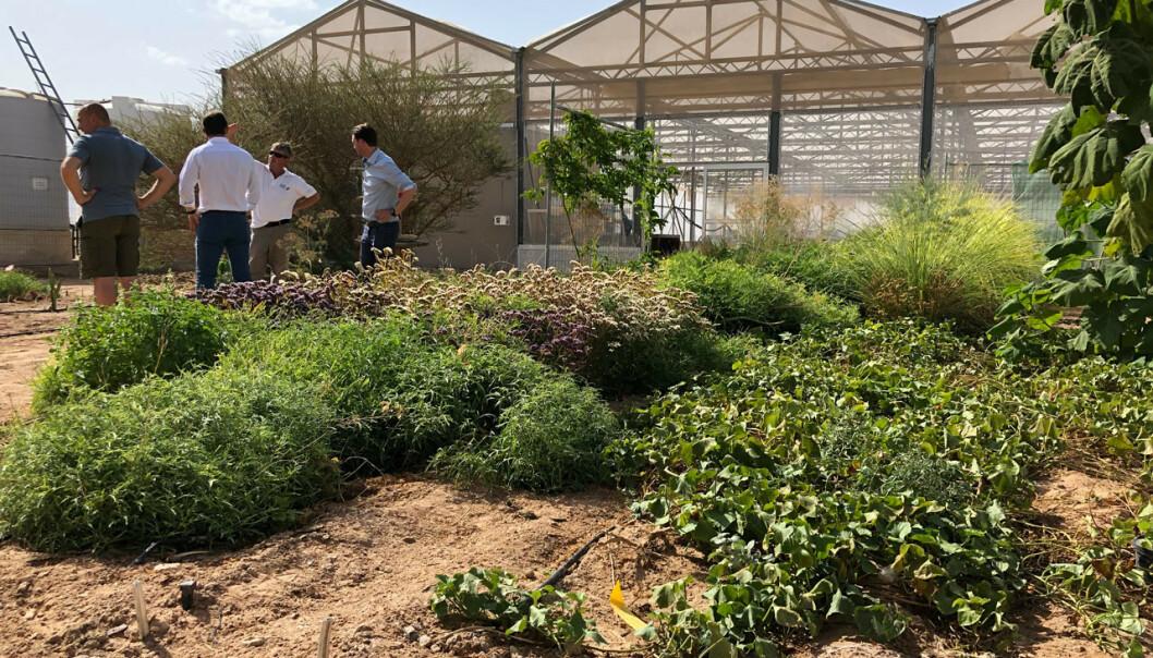 Det norske klimaprosjektet Sahara Forest Project dyrker grønnsaker i ørkenen i Jordan. Nå kommer snart ørkengrønnsakene fra anlegget til norske butikker. Foto: The Sahara Forest Project / NTB scanpix