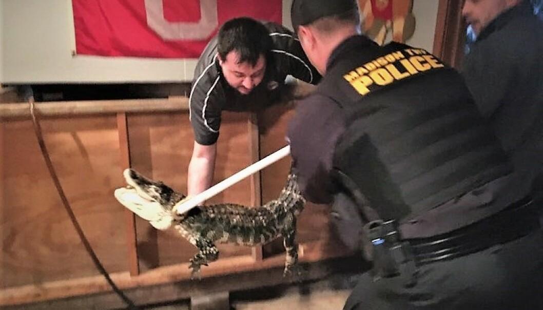 I SURRENDER: Alligatoren ble tatt hånd om av politiet og senere sendt til en reservat. FOTO: Skjermdump facebooksiden til Madison Township Police Department