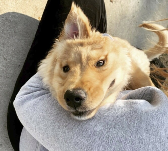 MED ØRET PÅ RETTE STADEN: Hunden Rae fikk skader like etter fødselen, som medførte at øret etterhvert havnet på toppen av hodet. FOTO: Instagram/goldeunicornrae