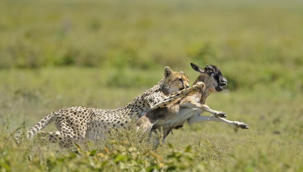 JEGERMESTER: Gepard som har jaktlykken med seg i Serengeti i Tanzania. FOTO: NTB Scanpix