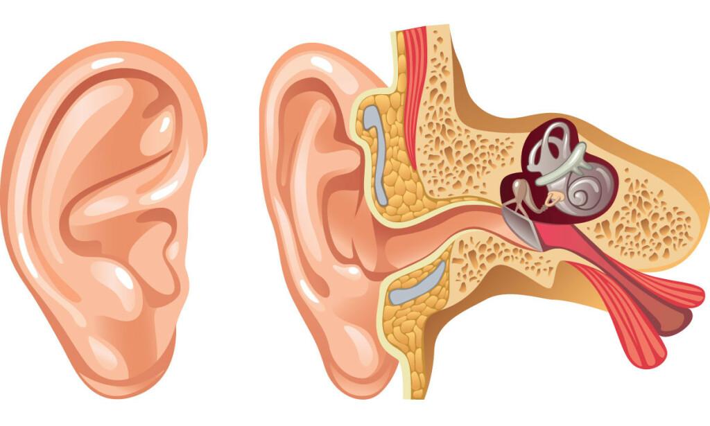 ØRET DITT: Organet som gjør deg i stand til å høre - og være i balanse. Illustrasjon: NTB Scanpix/Shutterstock