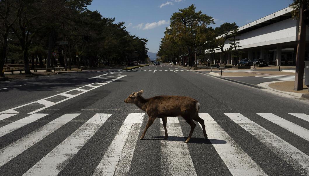 En hjort krysser et fotgjengerfelt i Japan. Ville dyr trekker inn til urbane strøk når menneskene går i karantene. Foto: AP/NTB scanpix
