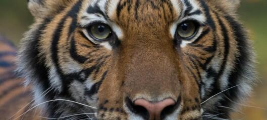 Tiger testet positivt for coronavirus