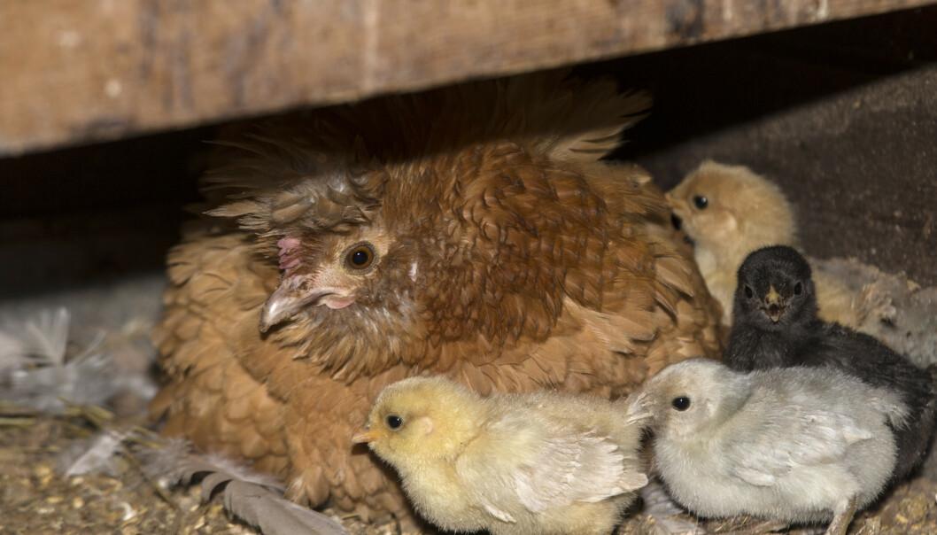 Hønemor passer på kyllingene sine. Foto: Terje Bendiksby / NTB scanpix