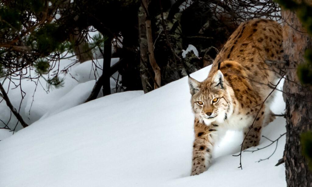 Hobbyfotografen fikk et unikt møte med dyret. Foto: Frank Dahl
