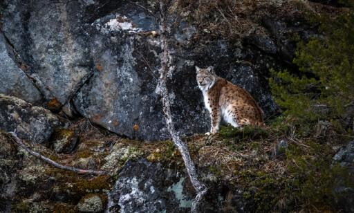 «Fantomet i skogen» omtaler gaupeeksperten kattedyret som. Foto: Frank Dahl
