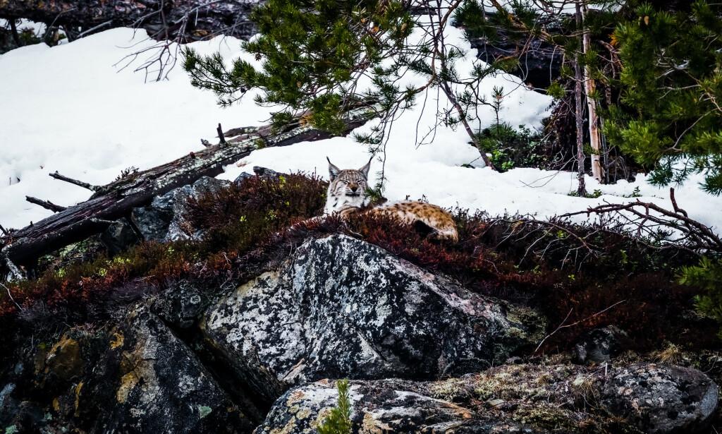 Gaupa la seg på et utsiktspunkt. Foto: Frank Dahl