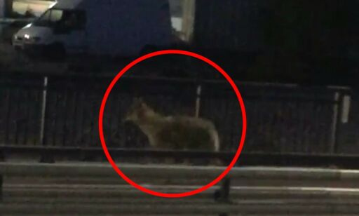 image: Se, første ulv i by'n på 100 år